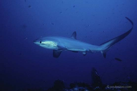 Thresher Shark Malapascua on PADI Diving Internship dives