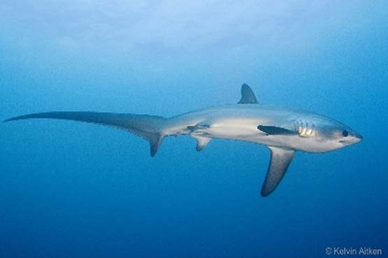 Malapascua's thresher sharks