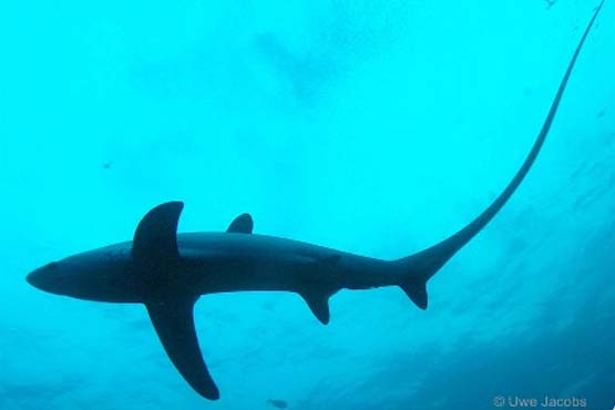 Dive with thresher sharks eery day on your PADI Dive Internship Program.