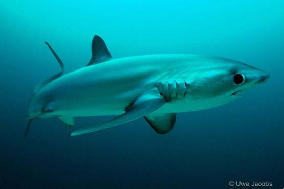Thresher shark in Malapascua on Divemaster Internship dives
